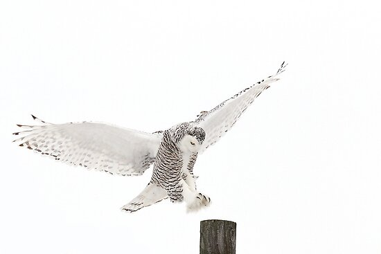 Home - Snowy Owl by Jim Cumming