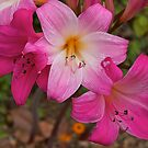 Belladonna#2 (beautiful lady) flowering. by johnrf