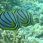 Butterflyfish by supergold