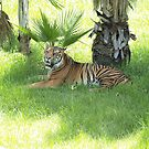 Juara, the Sumatran Tiger - Taronga Western Plains Zoo by Joe Hupp