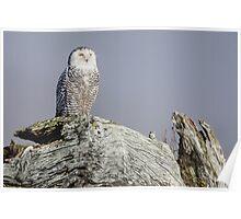 Snowy Owl Sentinel Poster