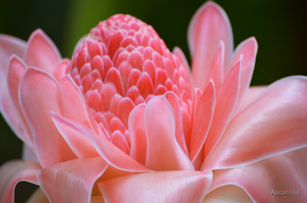 Tropical Gardens 7 - pink ginger torch lily by Alison Hill