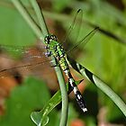 green dragonfly by Margaret  Shark