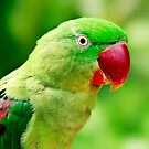 Alexandrine Parrot by Damienne Bingham