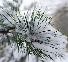 Snow Pine by JEZ22