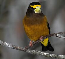 Golden Boy / Evening Grosbeak Male by Gary Fairhead