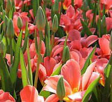 Tulip garden by Henk van Kampen