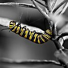 Monarch caterpillar - selective colour by PhotosByHealy