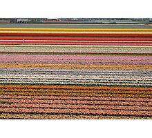 Tulip farm Photographic Print