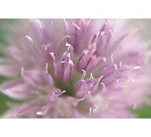 Purple Chive Photographic Print