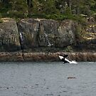 Orca Breaching, Telegraph Cove by SusanAdey
