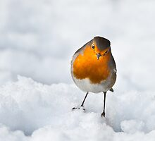 Robin in the snow(Erithacus rubecula) by mattcattell