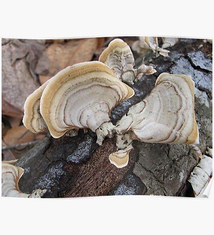 Shelf Fungus on Oak Poster