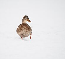 Mallard in the snow by mattcattell