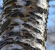 The birch and the snow, a love story. by Turi Caggegi