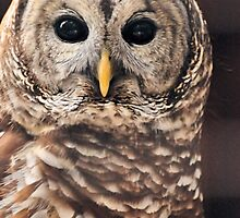 Barred Owl ( Strix varia ) by Jeff Ore
