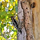 red-napped Sapsucker 2 by levipie