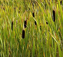 A Swamp Of Cattails by Sandra Foster