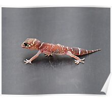 Thick-tailed Gecko Poster