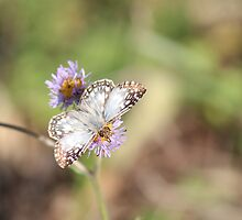 Tropical Checkered-Skipper by Bob Hardy