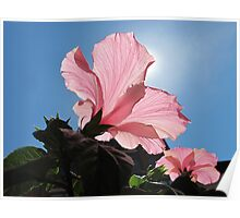 Basking in the Sunlight ~ Pink Hibiscus Flower under Blue Skies on a Sunny Day Poster