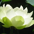 White flowering Lotus by wendy lamb