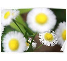 Cute White and Yellow Flowers Poster
