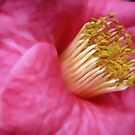 Camellia by Geoffrey Higges