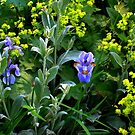 Just A Little Blue Iris In All That Green by Jane Neill-Hancock