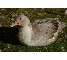 Teenage Muscovy Photographic Print