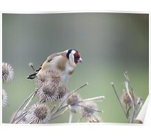 Goldfinch feeding on seed heads. Poster