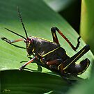 Eastern Lubber Grasshopper Nymph Stage by Kathy Baccari