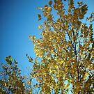 Birch Tree in Autumn by AJ Belongia