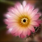Pink Cacti by Helenvandy