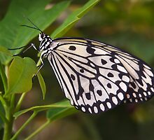Rice Paper Butterfly by Richard G Witham