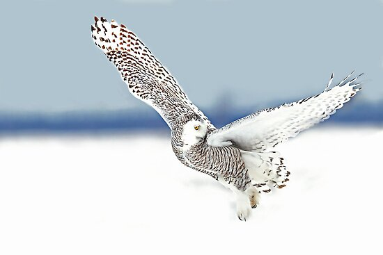 A goodbye look - Snowy Owl by Jim Cumming
