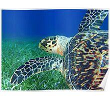 Hawksbill Turtle 4 Poster