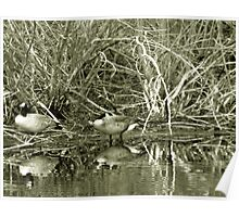 Nesting Geese Poster