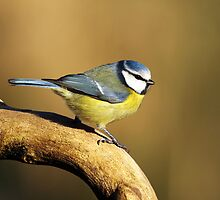 Blue tit by Photo Scotland