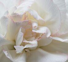 White Carnation by Ann Garrett