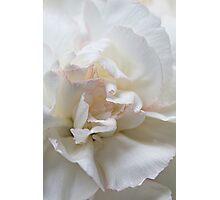 White Carnation Photographic Print