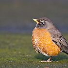 American Robin by Tom Talbott