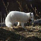 Snow Fox by cherylc1