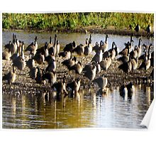 Geese on the pond Poster