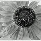 Sunflower by MissDawnM