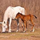 Wild Spanish Horses on Paynes Prairie by ejlinkphoto