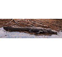 Big Gator Photographic Print