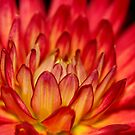 warm red dahlia macro by mooksool