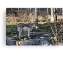 A lone timber wolf in the woods Canvas Print