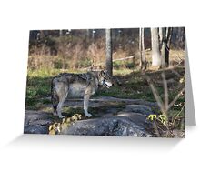 A lone timber wolf in the woods Greeting Card